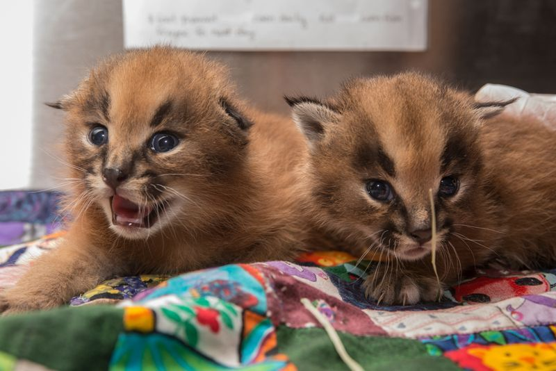 Oregon Zoo Introduces Newest Caracal Kittens Caracal