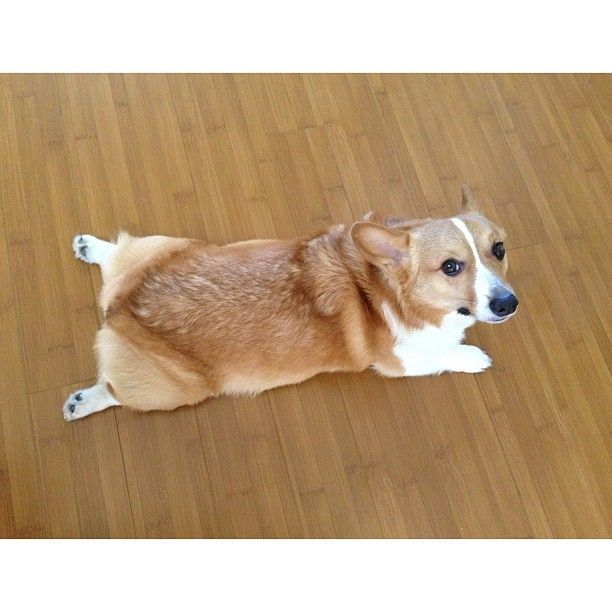 Perfect Sploot Form The Judges Give This Charmer A 10 Corgi