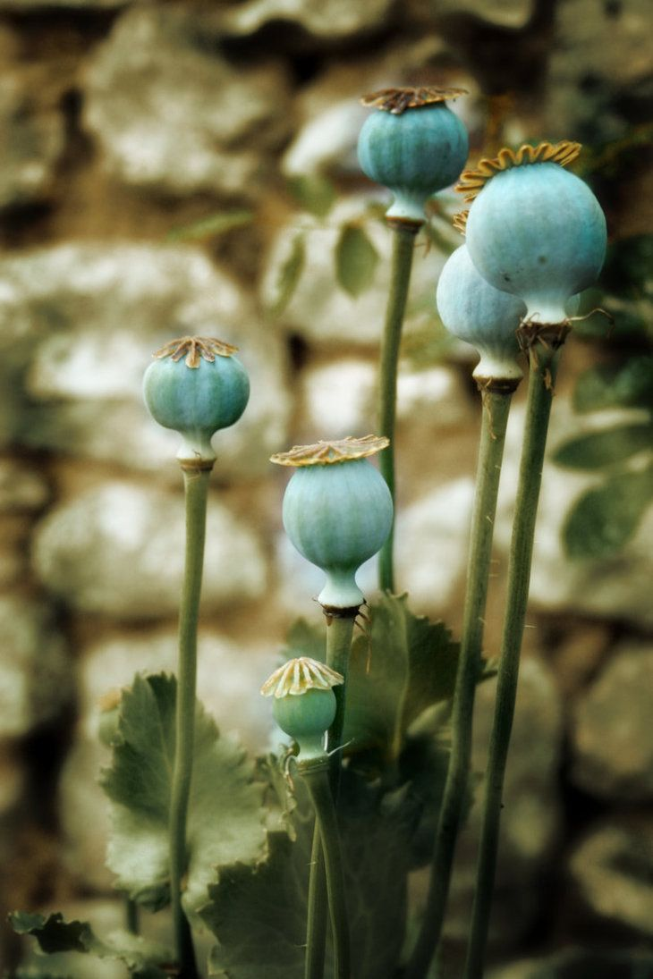 Poppy Pods Add Interest To The Flower Border When Not In Bloom