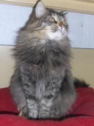Pin On Maine Coon Beauties