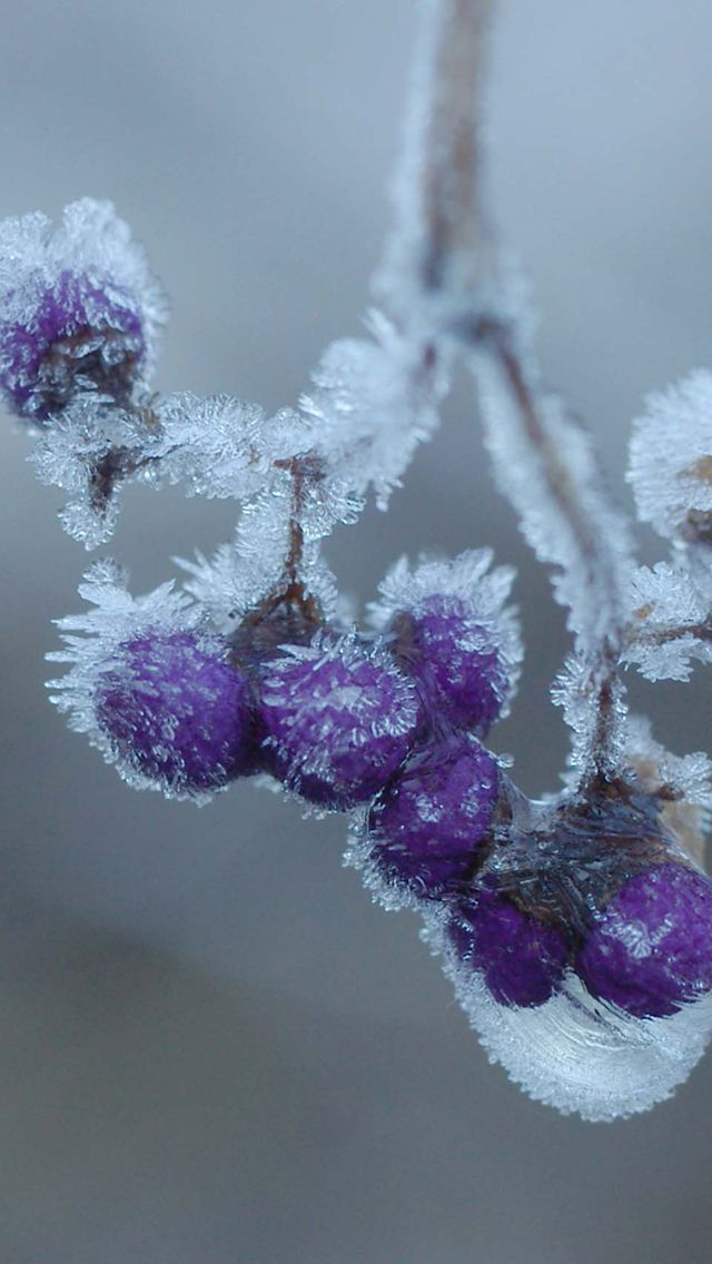 i like the fuzziness, the shininess of the ice, and the dull glowing lighting, and the colors, shapes.. ice and frost can seem so magical to me. Cream hanging iPhone 5 Wallpaper #wintergardening