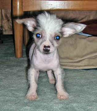 ♥DS♥ 102 Chinese Crested Puppy
