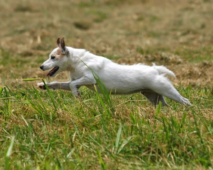 Parson Russell Terrier Dog Breed Information   Dog breeds ...