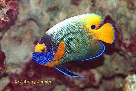 Aquarium Angel Fish Saltwater Fish Tanks Marine Fish Tanks