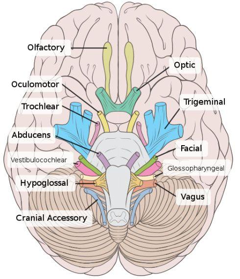 Cranial Nerves Mnemonic Nerve Anatomy Cranial Nerves Anatomy