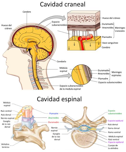 Introducción a la Anatomía Aplicada: organización general del cuerpo ...