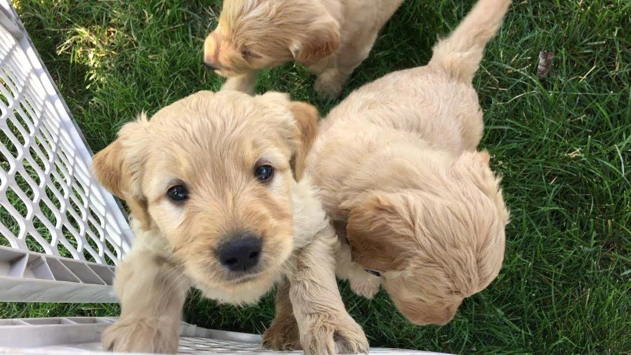 Goldendoodle puppies denver available goldendoodle puppy