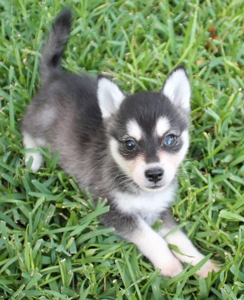 Alaskan Klee Kai Puppy For Sale In Texas Very Cute Alaskan Klee