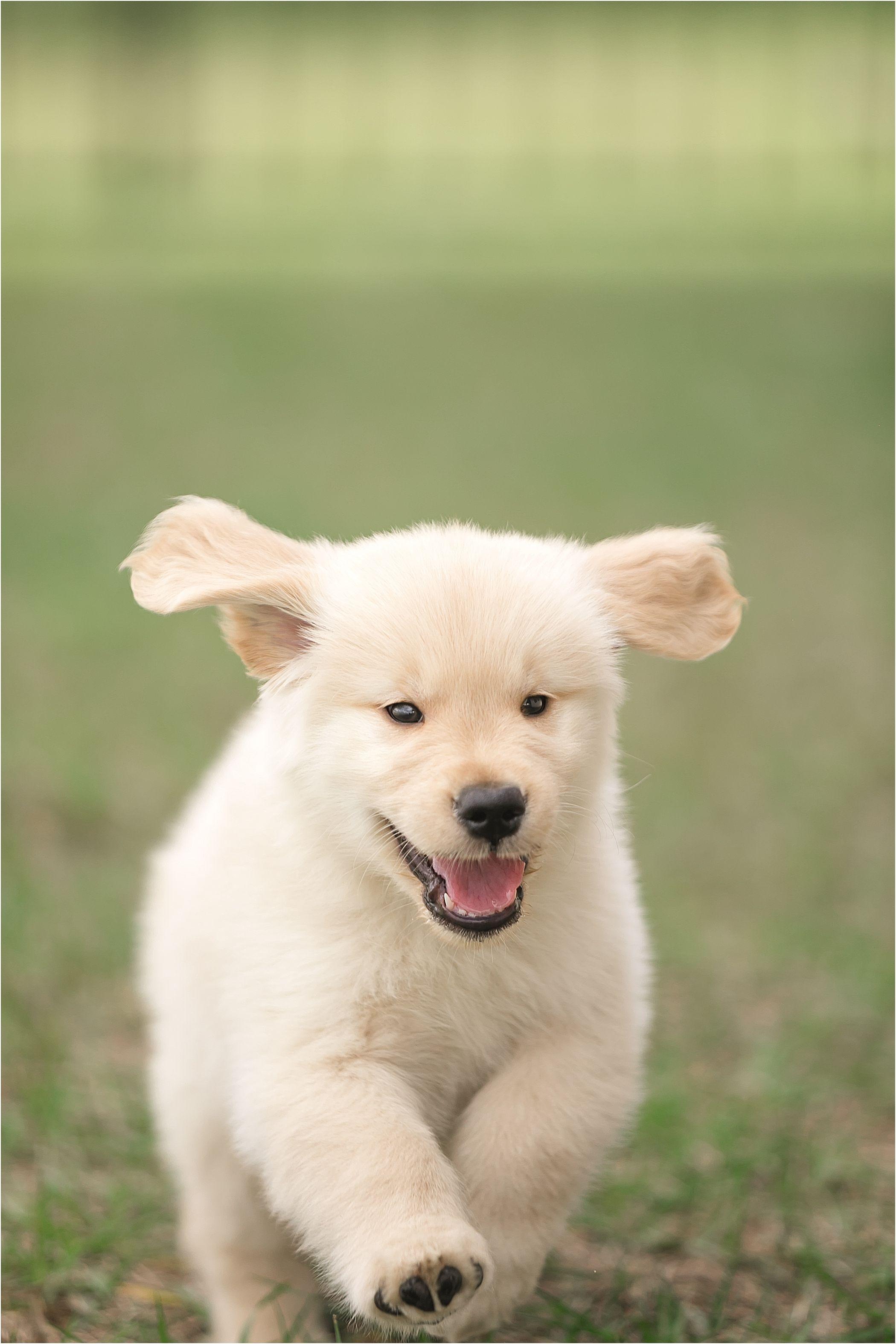 Golden Retriever Puppy Retriever Puppy Golden Retriever Puppy