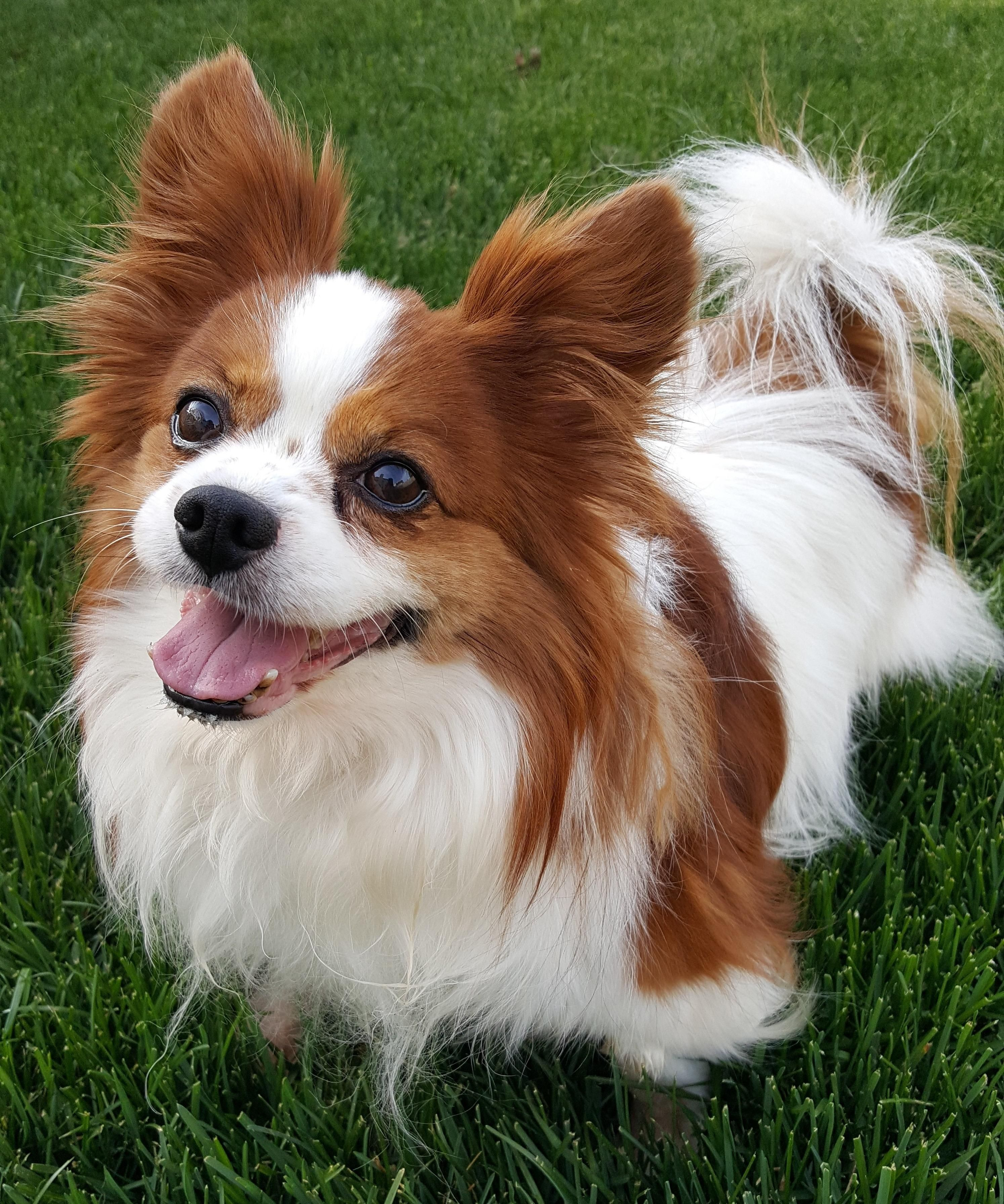 Adopt Lafitte In Indiana On Petfinder Papillon Dog Dog Adoption Pets