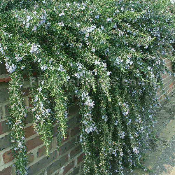 Trailing Rosemary Is A Great Choice When You Are Looking For A Solid Not Too Tall Evergreen For Full Sun Small Backyard Garden Winter Plants Rosemary Plant