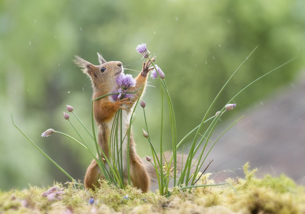 Adorable ️! wild red squirrel plucking flowers Photo by