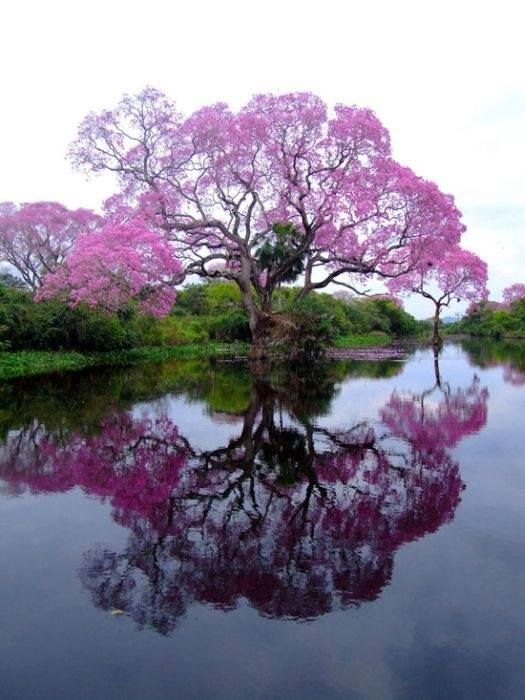 Boom met paarse bloesem aan het water