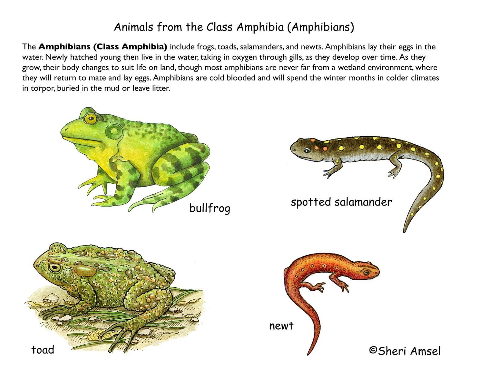 Amphibians  Science Edus Note Animal Groups