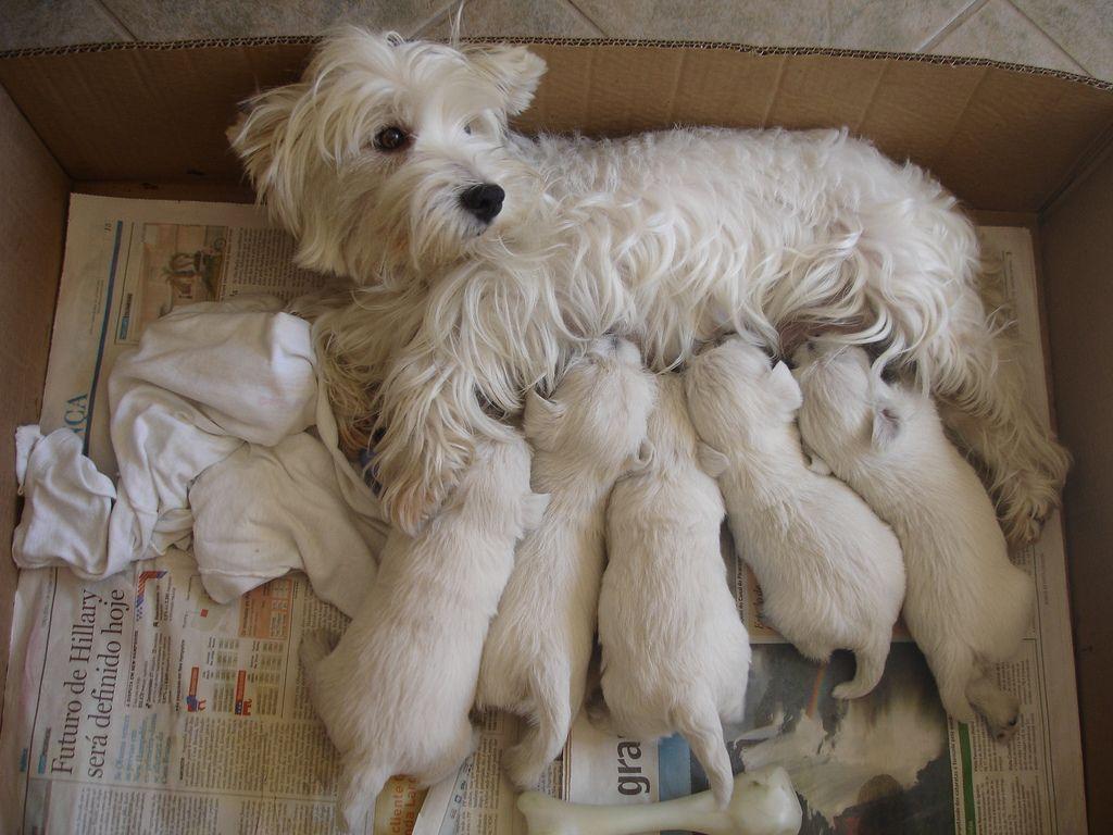 West highland terrier westies pinterest white terrier west