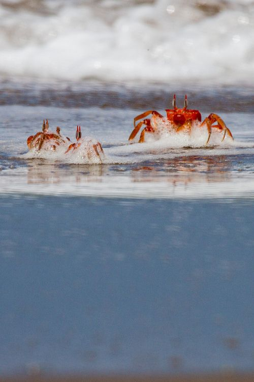 red ghost crabs by kev s focus on the positive the marine oceanic sustainability foundation www mosfoundation org