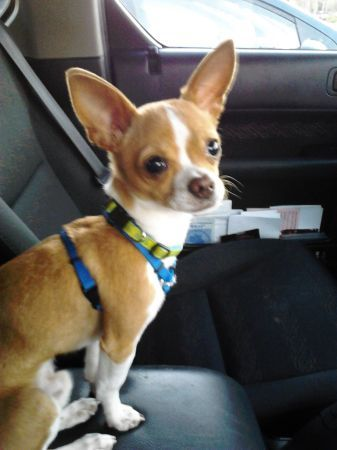 Chihuahua Puppy For Sale In Salem Or Adn 68930 On Puppyfinder Com Gender Male Age 1 Year 6 Months Old Cute Dogs Chihuahua Puppies For Sale White Chihuahua