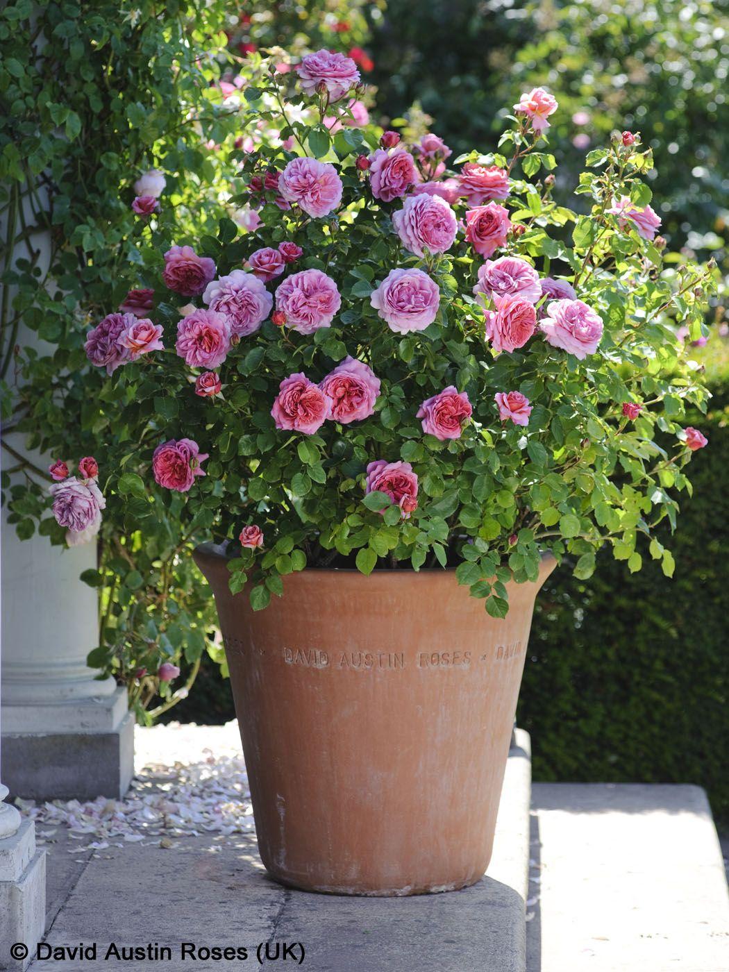 Rosen in Topf und Kübel pflegen