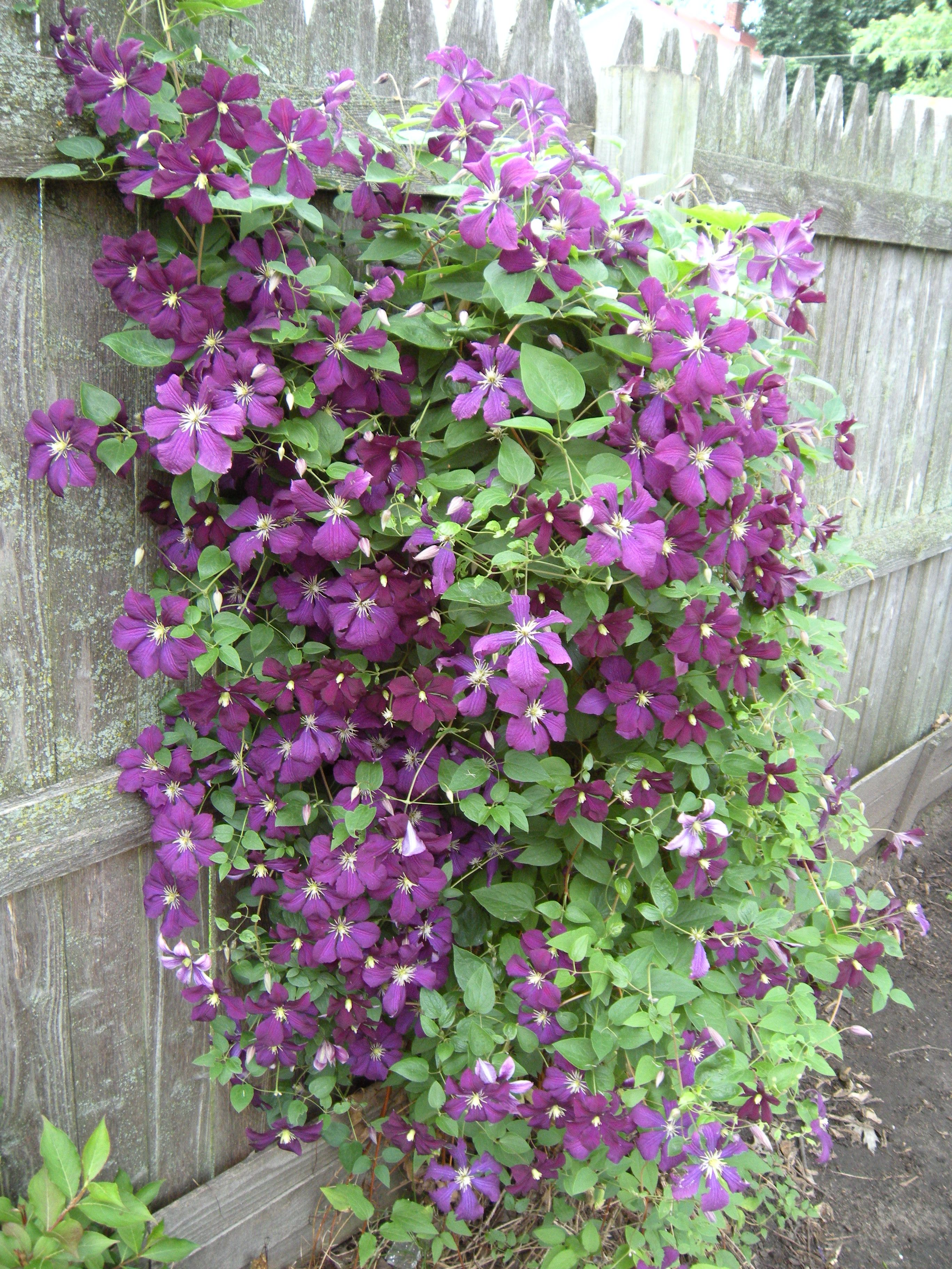 Climatis Oh If Mine Would Bloom Like This Garden Ideas