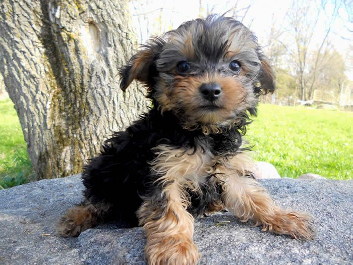 Puppies For Sale Maltipoos Maltepoos Yorkipoos Yorkiepoos Shih Poos Shih Tzu Poos In Faribault Minnesota Puppies Dog Breeder Pets