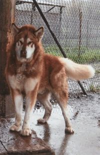 My Dream Dog Giant Alaskan Malamute This Is One Of Wakon S Male