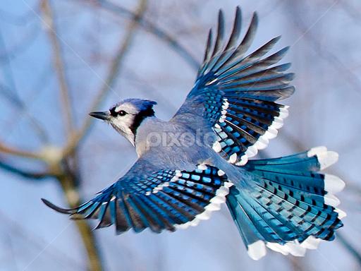 Blue Jay in Flight | Birds | Animals | Pixoto | birds ...