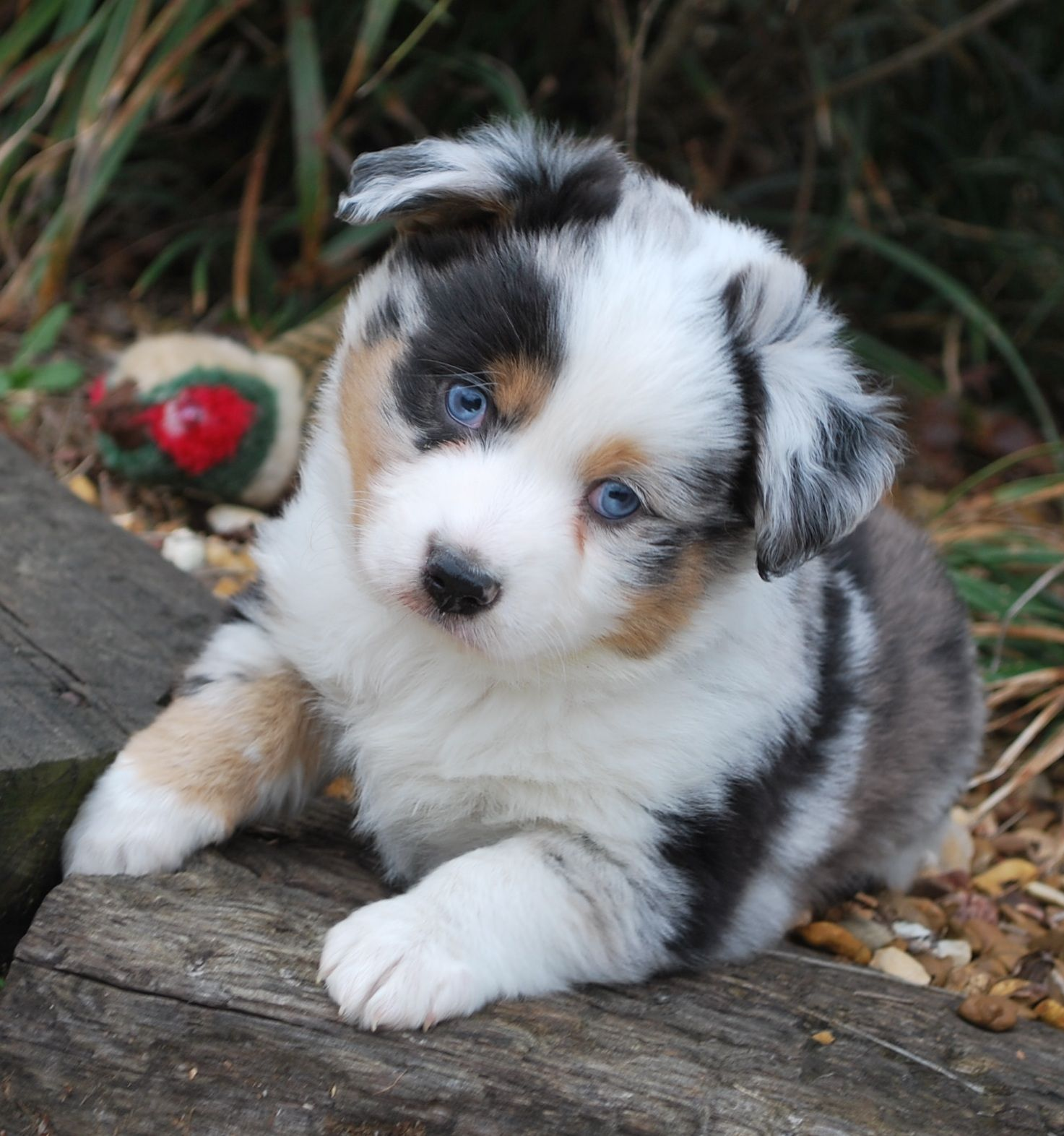 Cute Mini Aussie How Adorable Wish She D Let Me Have One She Owes Me Parsons Place Stable Australian Shepherd Puppies Aussie Puppies Shepherd Puppies