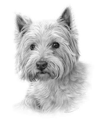 Graphite pencil drawing of a westie by nolon stacey for Westie coloring pages