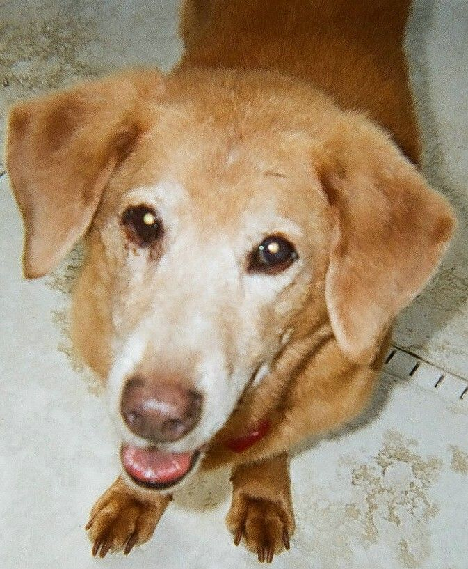 Otis, our bassalab, at age 17. Rescue dog pictures