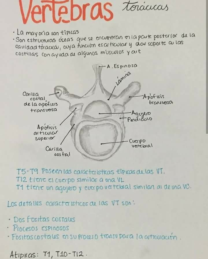 Pin de Nicolas Riveros en Anatomia | Pinterest | Medicina, Anatomía ...