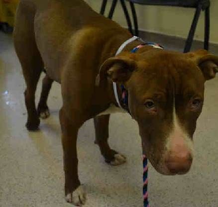 SAFE 5-14-2015 by Glen Wild Animal Rescue --- SUPER URGENT Manhattan Center CARAMELO – A1035794  ***FRACTURED LEG – NEEDS MEDICAL ATTENTION***  MALE, BROWN / WHITE, STAFFORDSHIRE MIX, 7 mos STRAY – STRAY WAIT, NO HOLD Reason STRAY Intake condition INJ MINOR Intake Date 05/09/2015