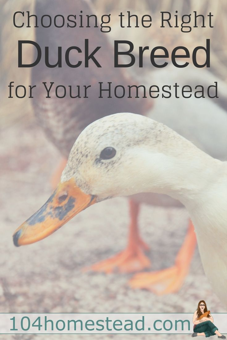 If You Plan To Raise Ducks On Your Homestead, It Is Important To Choose A