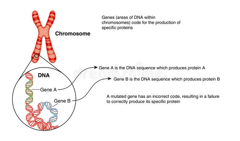 Chromosome Structure Dna And Genes Dna Chromosome Structure