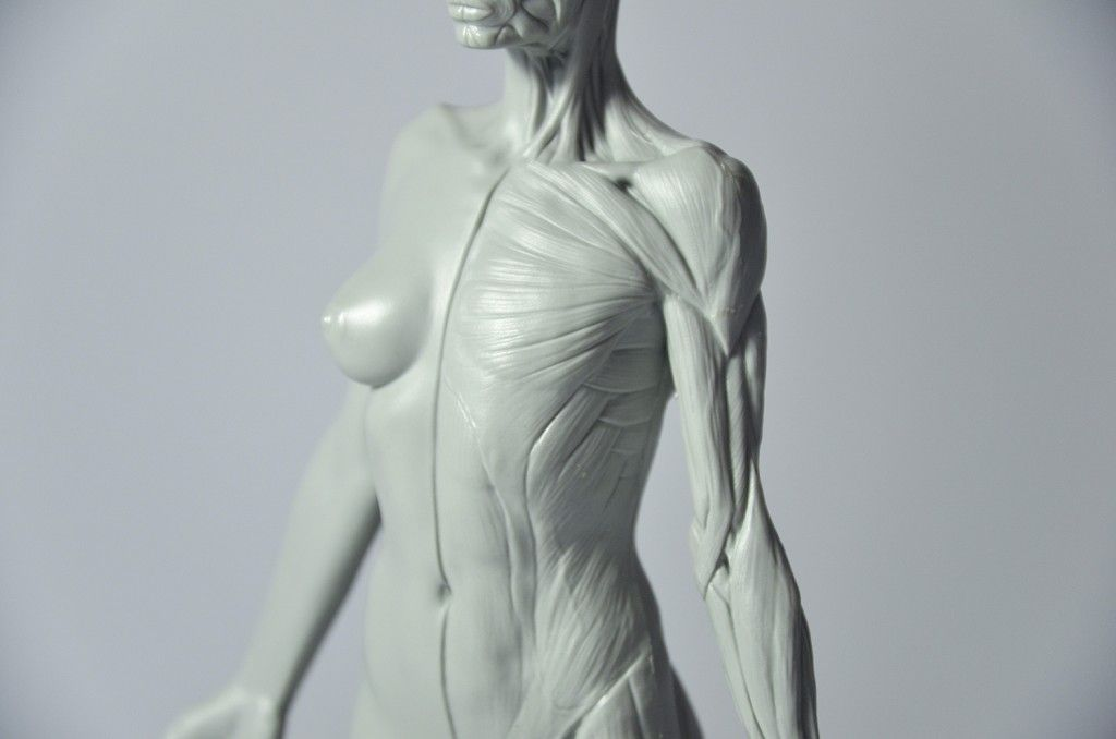 3d Total Female Anatomy Figure Cg Everything Traditional Sclupts