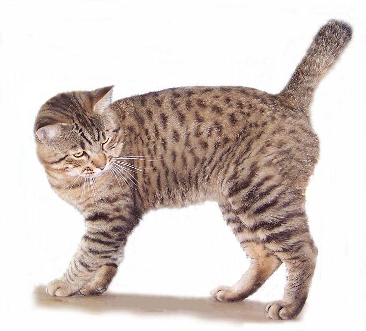 American Bobtail American Bobtail Cat Bobtail Cat Cat Breeds