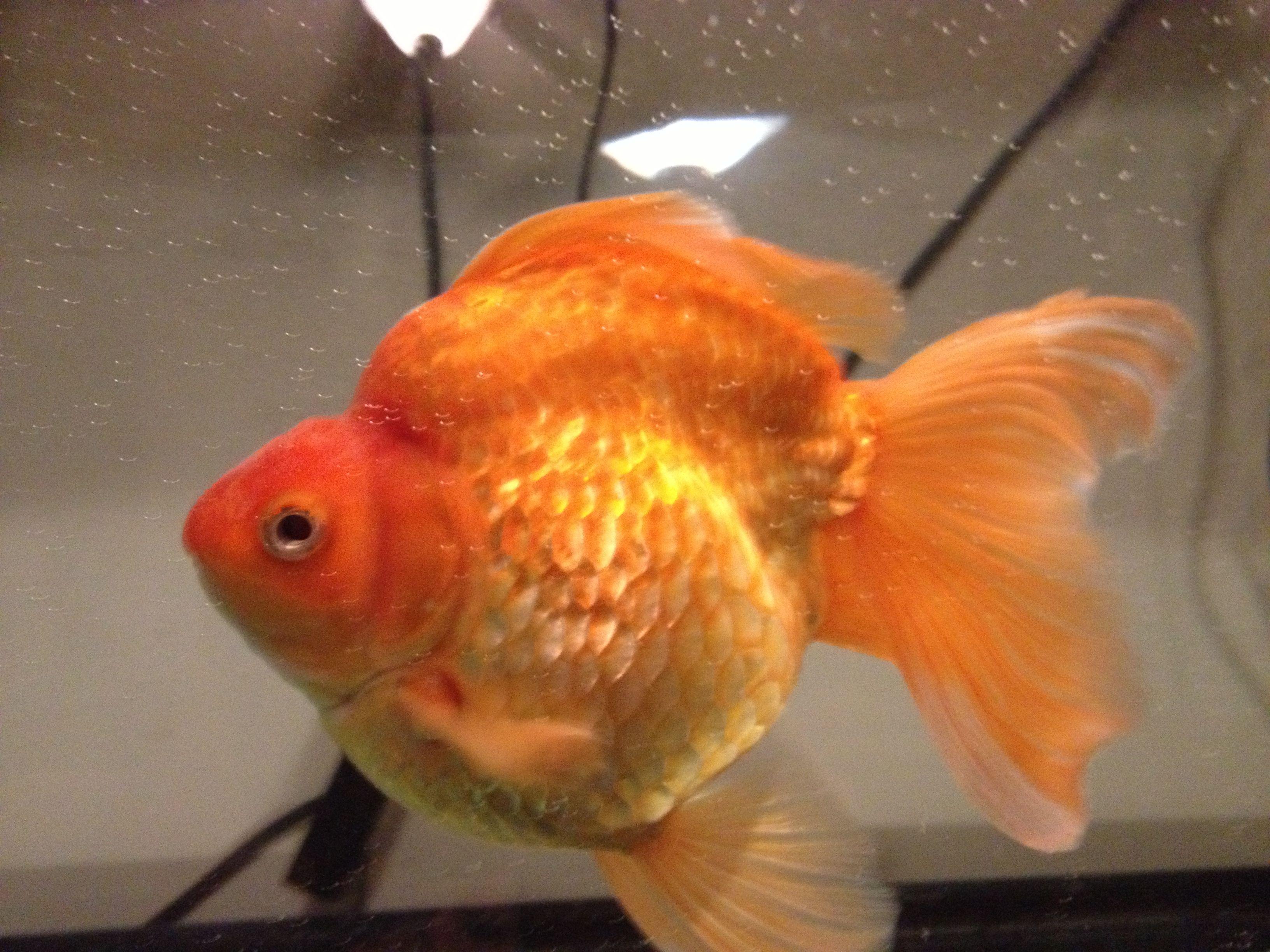 Criadero De Peces Goldfish Of Large Ryukin Goldfish Amazing Pet Fish Criadero Peces