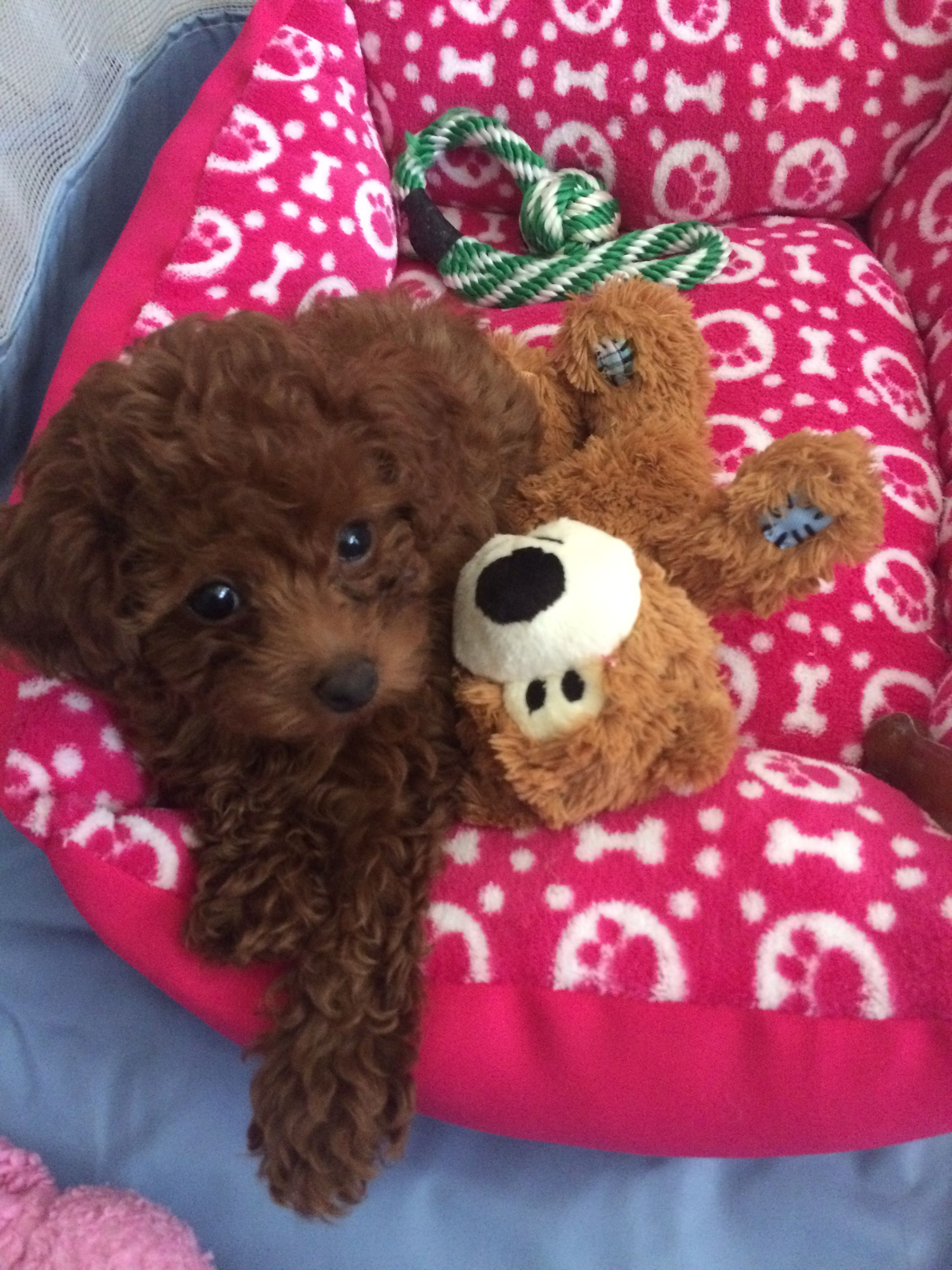 red toy poodle puppies for sale texas