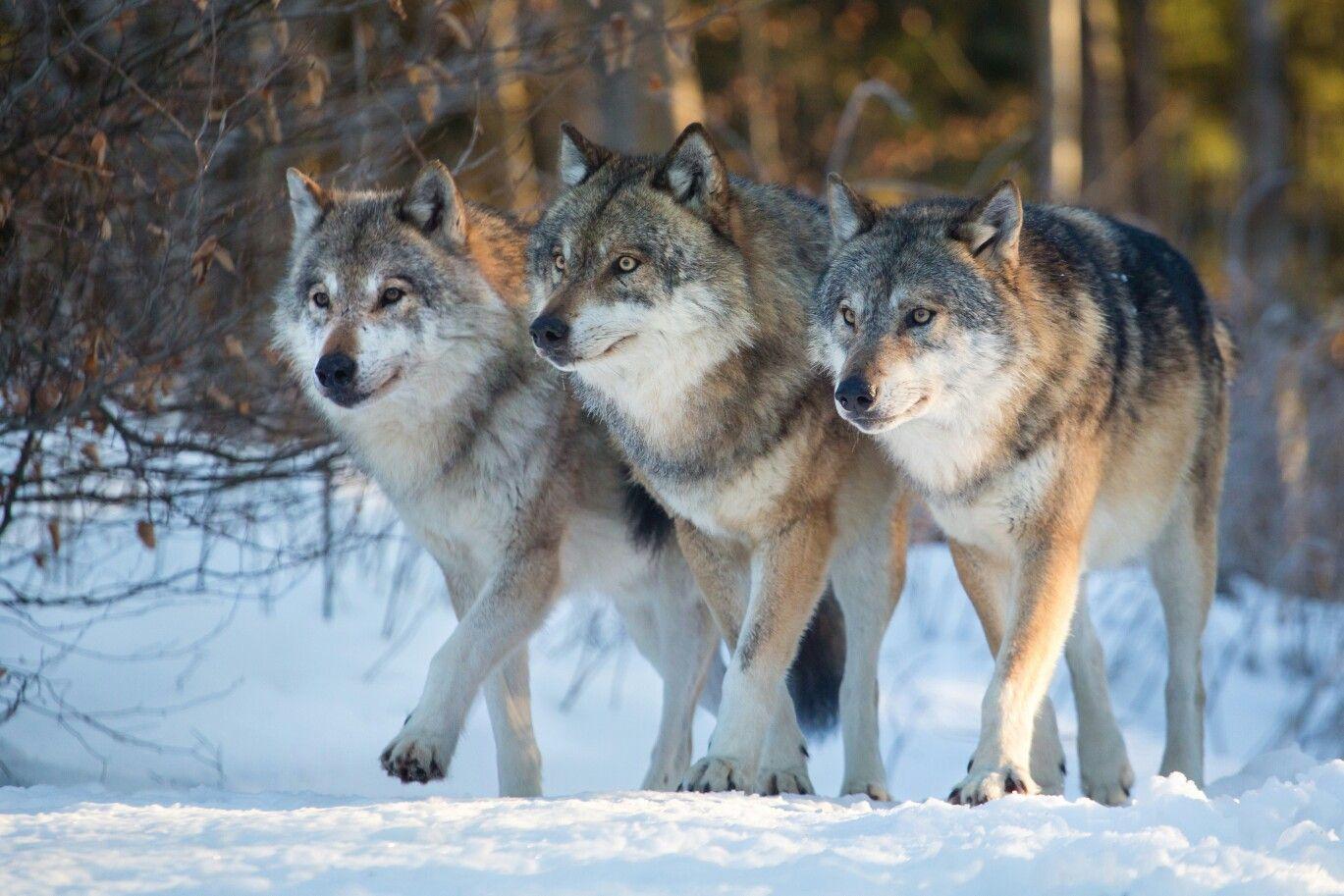 Фото с тремя волками