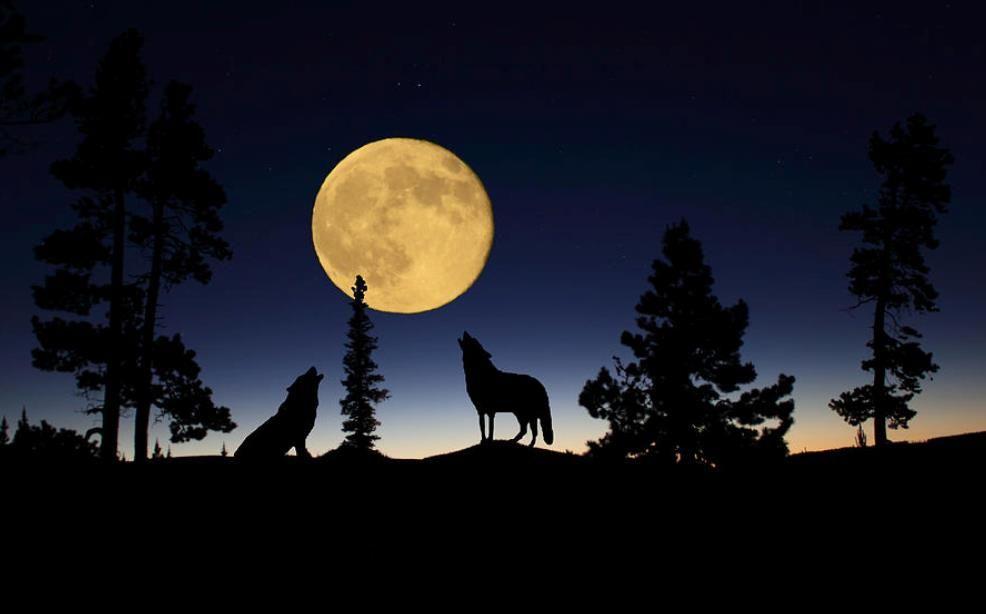 Silueta Lobo: Siluetas, Lobo Aullando Y