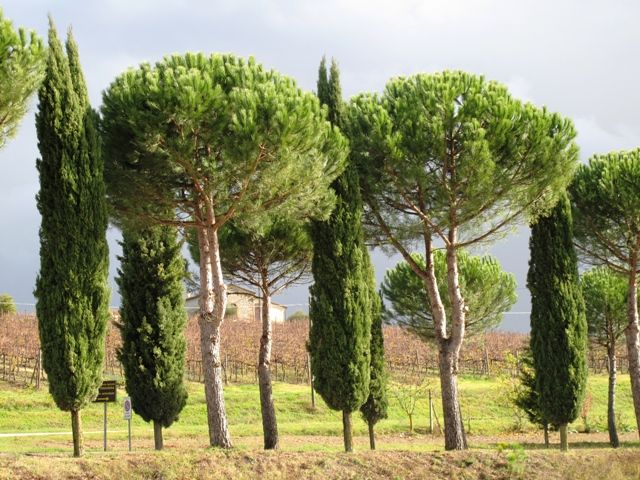 Italian stone pines, unlike olive trees, are said to be both drought ...