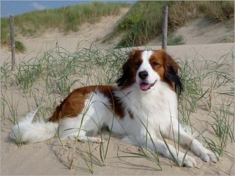 Kooikerhondje Vom Torfmoorsee Honden Dieren