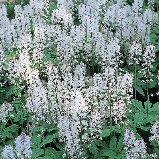 Foamflower   (Tiarella Cordifolia) Zone Prefers Moist, Shady Or Deep Shade  Environments. Use As A Groundcover Or Edger In A Shady Border Or Woodland  Garden.