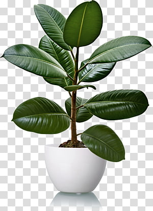 Rubber Fig Para Rubber Tree Houseplant Natural Rubber Plant Transparent Background Png Clipart Rubber Tree Houseplant Plants Rubber Tree