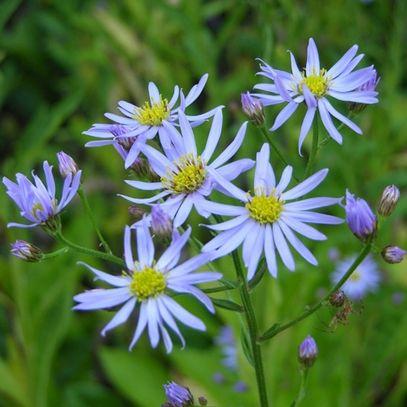 Tatarian Aster Aster Tataricus Plants Flowers Perennials Hardy Perennials