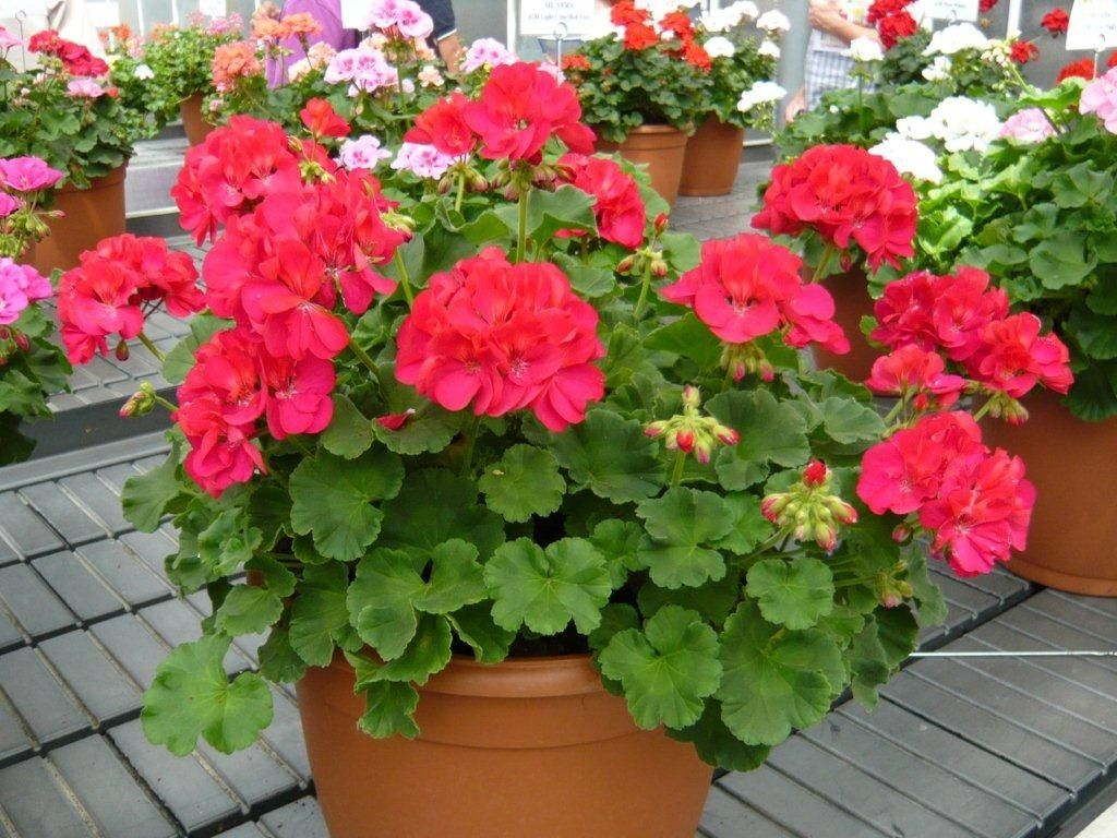 Salt tolerant:  Geraniums