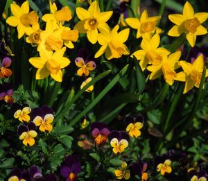 Brent And Becky S Bulbs Daffodil Narcissus Tete A Tete Daffodils Narcissus Gorgeous Gardens