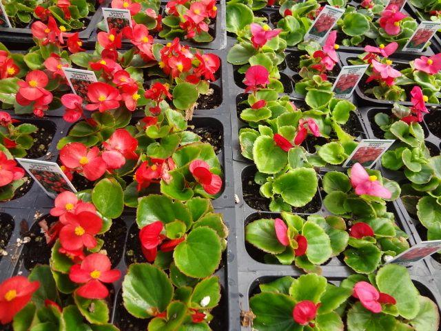 Sprint Scarlet And Sprint Rose Wax Begonias Begonia Plants Rose