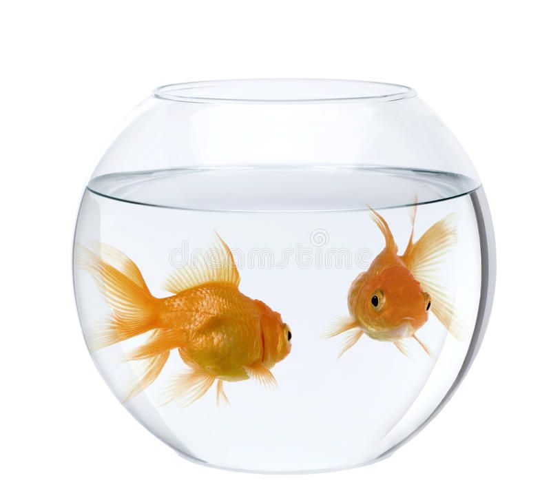 Goldfish In Fish Bowl Against White Background Two Goldfish In Fish Bowl In F Ad Bowl Fish Goldfish White F Fish Bowl Goldfish White Background
