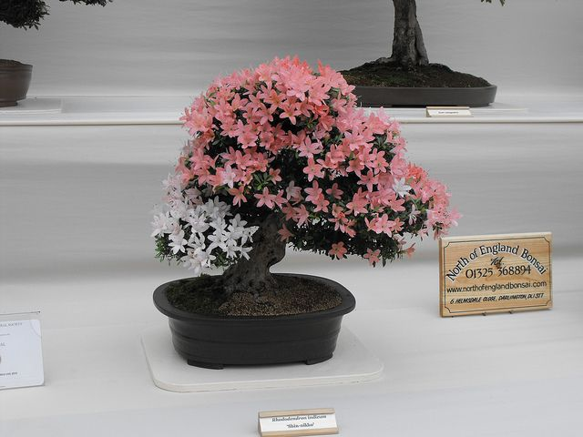 flowered bonsai (2) by kazray102, via Flickr
