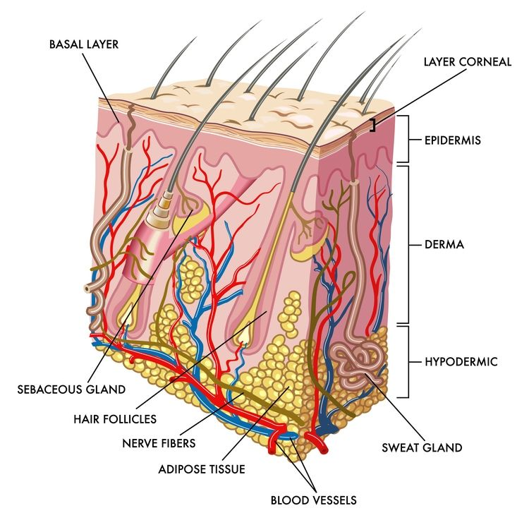 Skin Layers Diagram Labeled Simple Jl 13w7 Wiring The Human Body S Largest Organ Learning Is Fun Composed Of Several Tissue Br